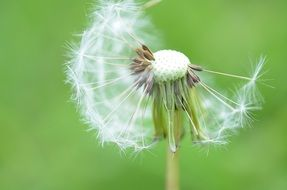 dandelion flower nature spring