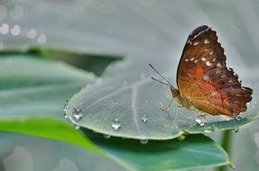 butterfly on a green leaf in dew