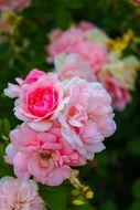 pink roses like summer flowers