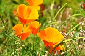 Yellow poppies are meadow flowers