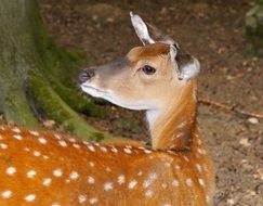 roe deer is a forest animal