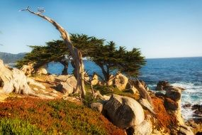 cypress trees and stones on the california coast