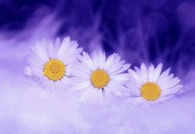 three white daisies in a blue background