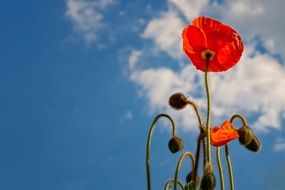 red poppy sky blue view