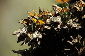 thousands butterflies monarch mating