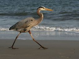 blue heron walking on beach