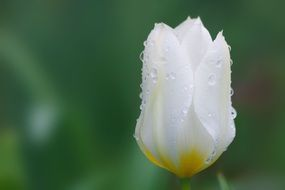 White tulips in dew drops