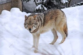 arctic wolf on a snow