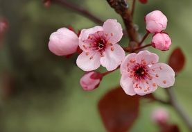 tender pink tree flowers in spring