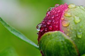 bud of a peony in raindrops close-up