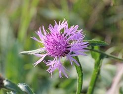 knapweed flower bloom closeup
