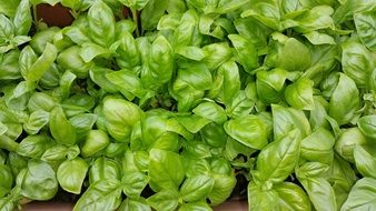 bright leaves of green basil