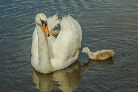 Swan and chick swim