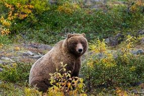 grizzly bear in the wild in alaska
