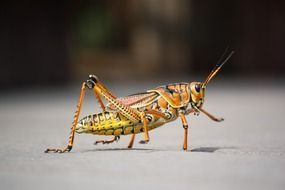 grasshopper insect nature animal