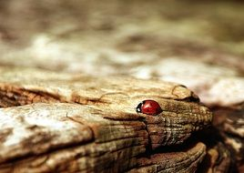 ladybug on a brown wood