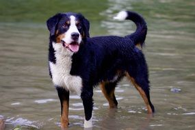 bernese mountain dog in water standing portrait