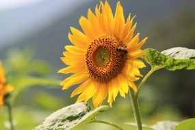 yellow sunflower with bee blooming