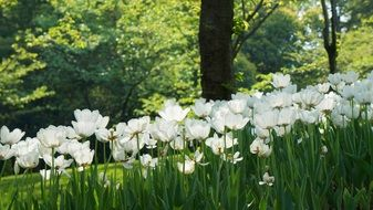 white tulips in garden at back light, china, hangzhou, prince bay park