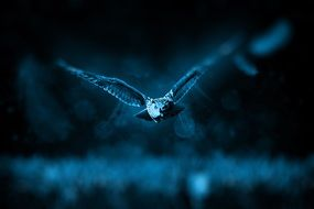 flying owl hunting in night