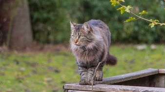 fluffy domestic cat stands on a wooden fence