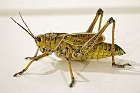 yellow grasshopper