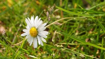 delicate white daisy in summer