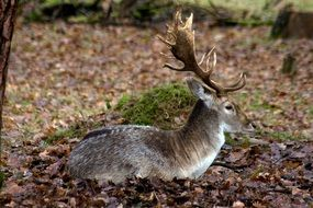 Fallow deer in the forest in autumn