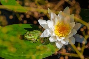 frog on a green leaf near a water lily