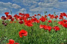 red poppies field flower