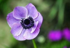 light purple anemone on a blurry background