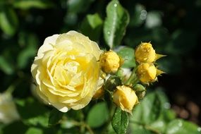 light yellow rose blooms