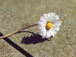 white daisy on a stone tile