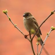 perched sparrow in spring
