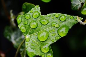 large placer drops on green ivy