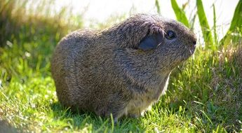gray guinea pig in a meadow