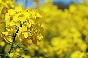 yellow flowering of a rapeseed field close-up