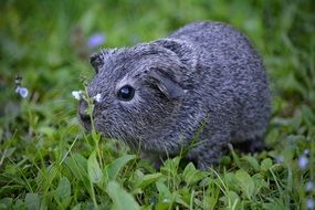 gray guinea pig on green grass