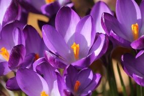 Macro Picture of crocuses flowers