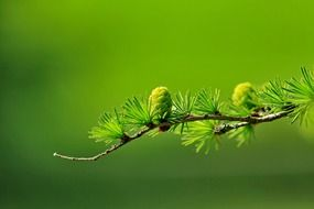 coniferous branch with young green cones