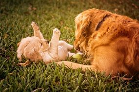 Golden retrievers on a green grass