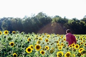 man in a bright field of sunflowers