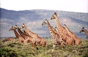 many giraffes in a national park in africa