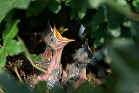 hungry chicks in the nest among the leaves