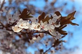 almond flowers on a branch with brown leaves