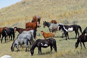 A herd of wild horses on pasture