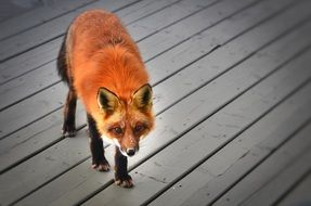red fox in Quebec