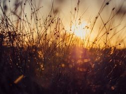 wild grass against a bright sunset