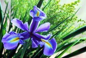 violet iris flower in the spring
