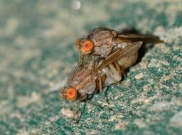 mating Drosophilas, small fly with orange eyes